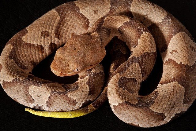 Copperheads are one of the most common type of poisonous snakes in Virginia.