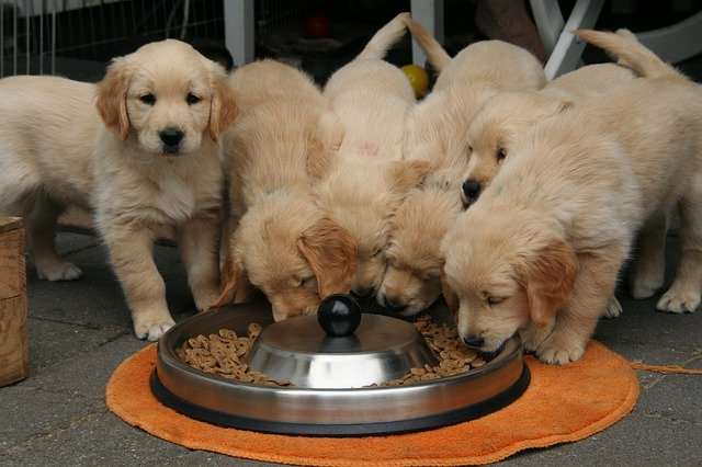 Several puppy dogs eating food out of a dish