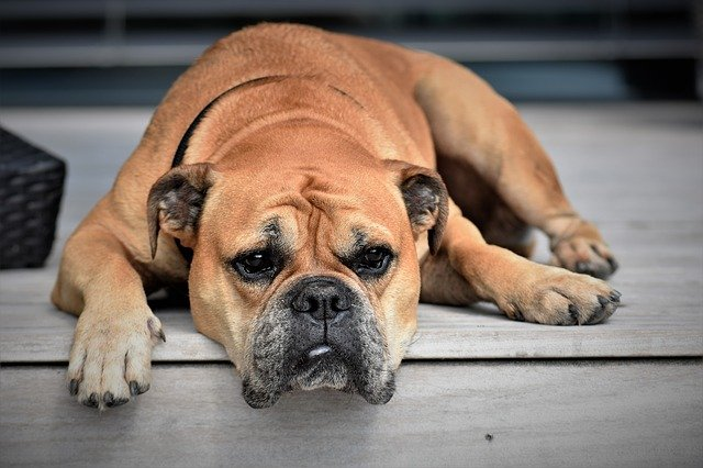 Cushing's disease can cause muscle weakness in dogs