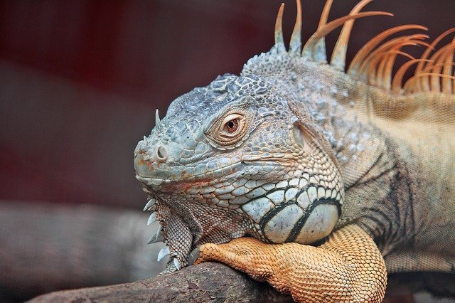 A lizard fed the right nutrition will have supple skin, a healthy weight, and a mellow attitude.