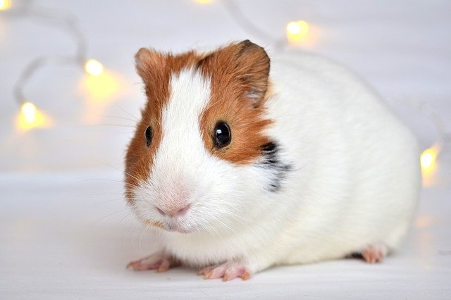 Guinea pigs, like other small mammals and reptiles, often need special care once the weather starts turning cold.